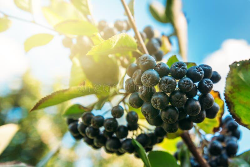 在分支的卓有成效的成熟aronia莓果 免版税库存照片