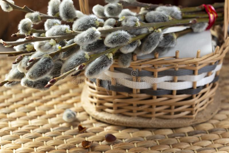 在分支的圆鼓的杨柳芽 免版税库存图片