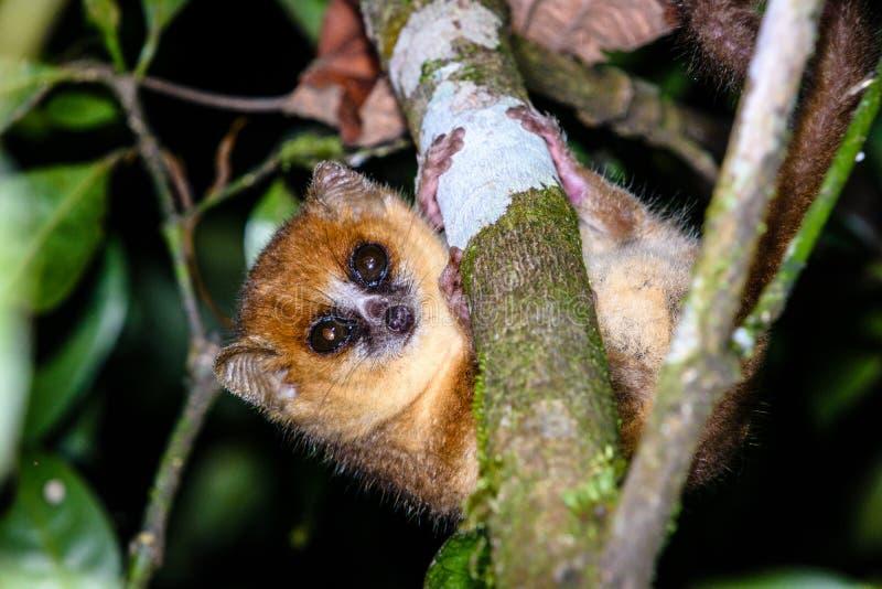 在分支的夜的老鼠狐猴在马达加斯加 免版税库存图片