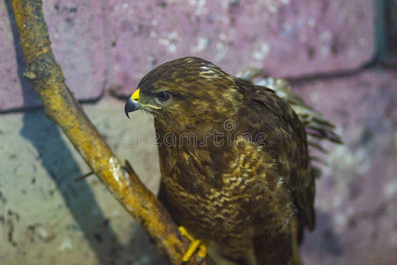 在分支的大掠食性鹰 免版税库存图片