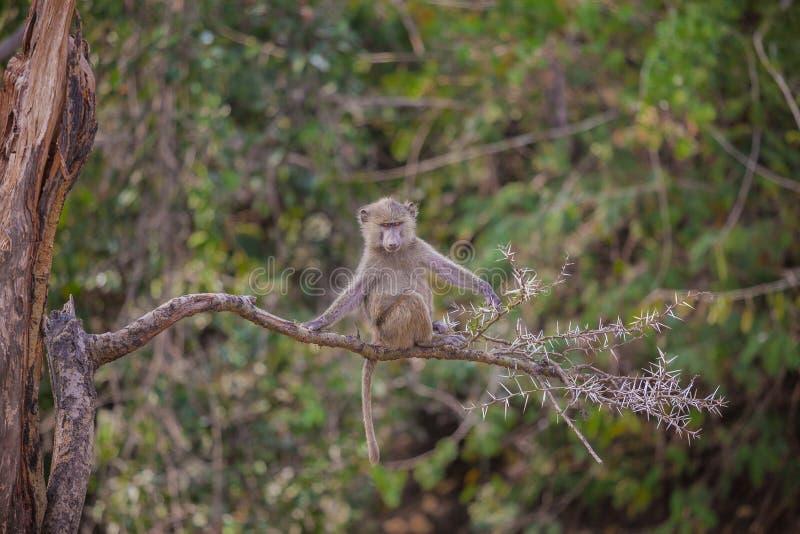 在分支的幼小坦桑尼亚的狒狒 免版税库存图片