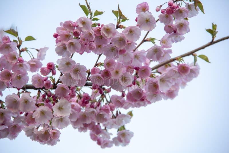 在分支的开花在春天开花期间的自然模糊的背景 分支与佐仓开花 开花的樱桃树增殖比 免版税库存图片