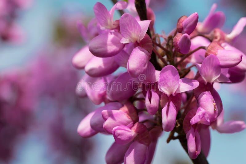 在分支的开花的金合欢桃红色花在春天和被弄脏的背景 免版税库存照片