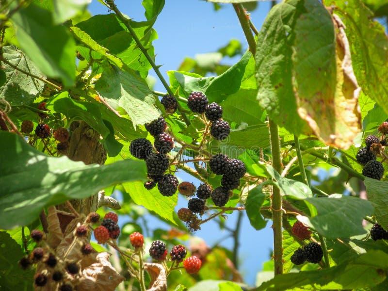 在分支的成熟未成熟的狂放的黑莓 有机黑莓灌木特写镜头在森林里 库存照片