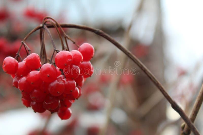 在分支的成熟莓果 免版税库存图片