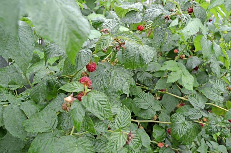 在分支的成熟莓 绿色灌木 库存图片