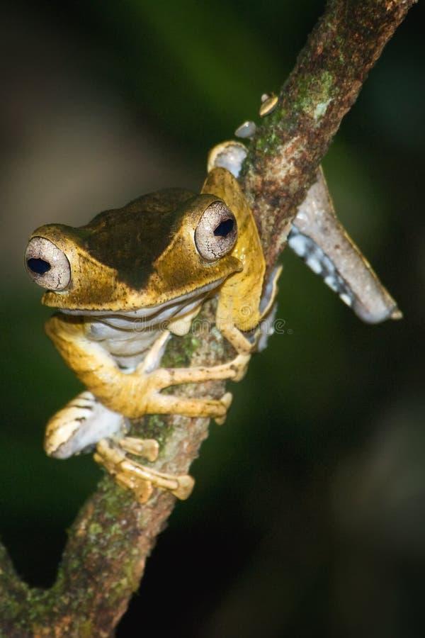 文件有耳的雨蛙 图库摄影