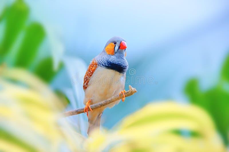 在分支的斑胸草雀 反对一美丽的colorfu的异乎寻常的鸟 库存图片