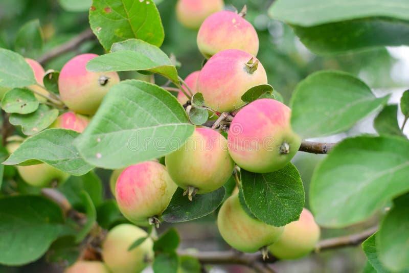 在分支的新鲜的桃红色苹果在与绿色叶子的夏天 免版税库存图片