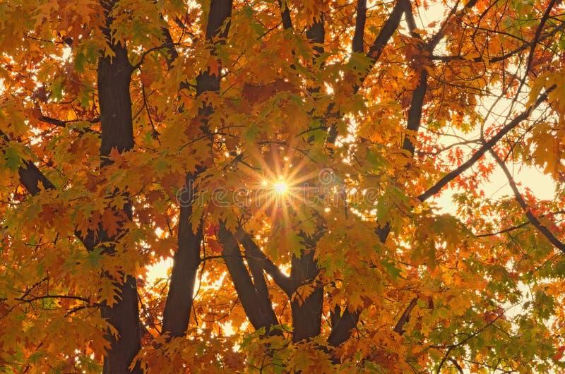 在分支的明亮的色的叶子在秋天森林太阳通过树发出光线发光,自然背景 免版税库存图片