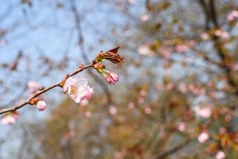 在分支的桃红色花 库存图片