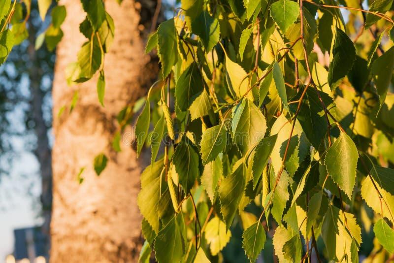 在分支的桦树叶子,阐明由平衡的太阳,选择聚焦,美好的风景, 库存照片