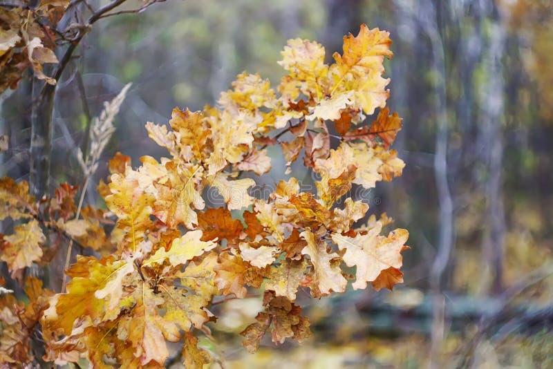 在分支的橡木干燥叶子在秋天森林里 库存图片