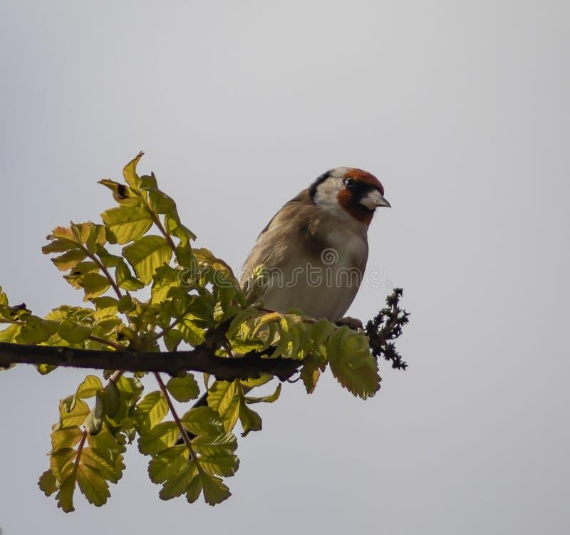 在分支的欧洲金翅雀 库存照片
