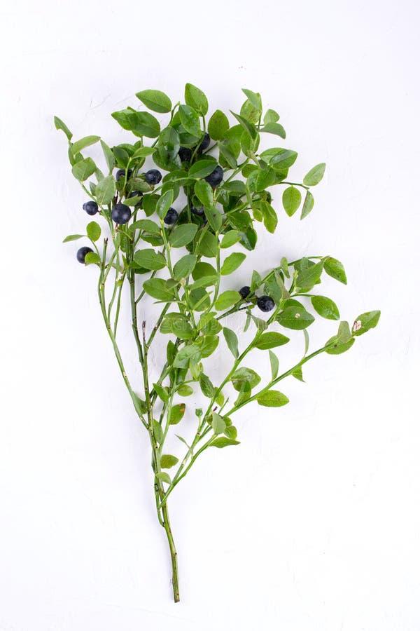 在分支的狂放的森林蓝莓在白色 图库摄影