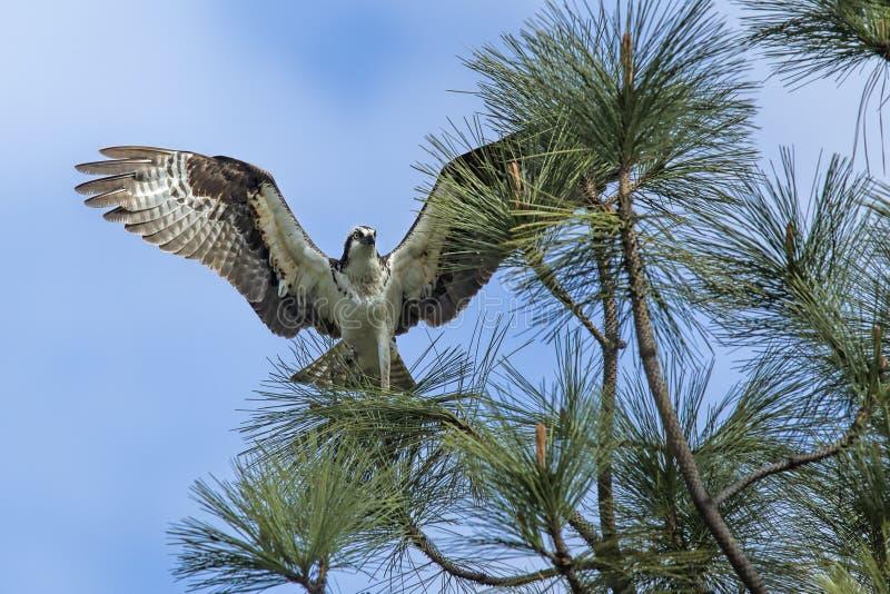 在分支的白鹭的羽毛与翼传播 库存照片