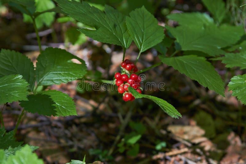 在分支的石莓果 库存照片