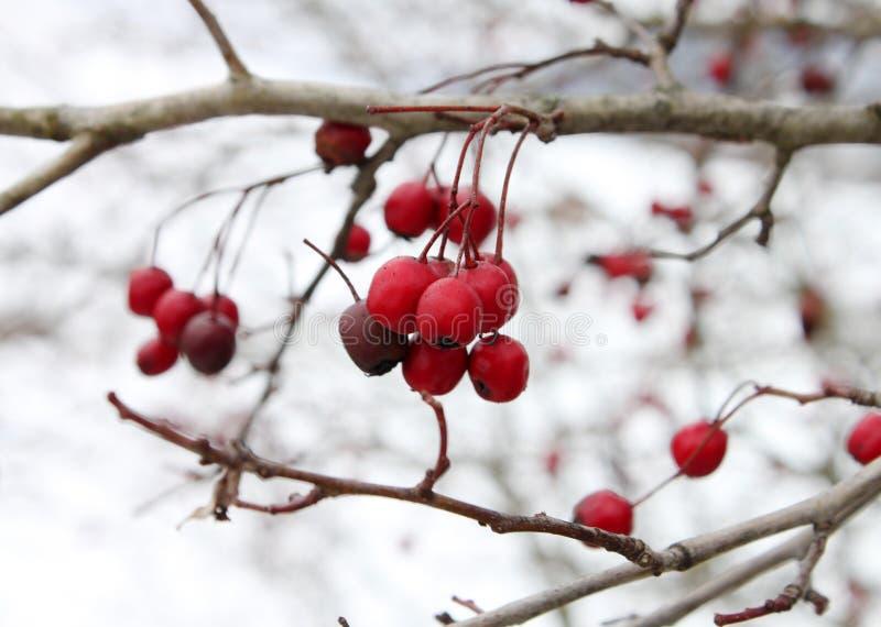 在分支的红色石南木果子在冬日 免版税库存照片