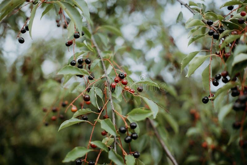 在分支的红色莓果 免版税库存照片
