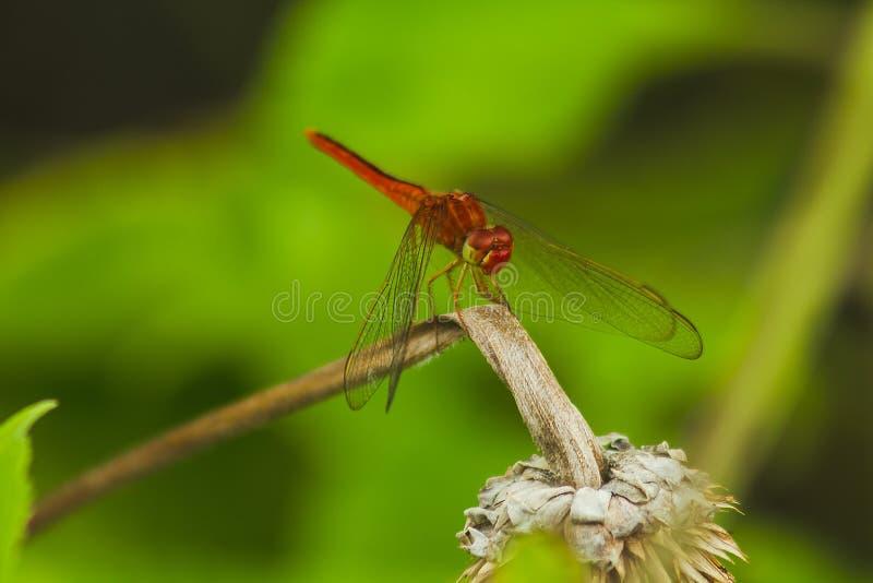 在分支的红色蜻蜓 免版税图库摄影