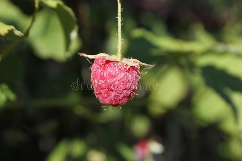 在分支的红草莓 在绿色背景的水多的成熟莓果 图库摄影