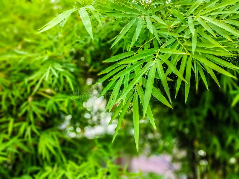 在分支的绿色竹叶子在被弄脏的bokeh自然背景的夏天 免版税库存图片