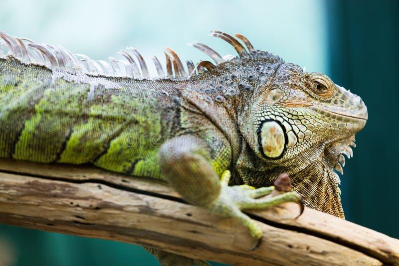在分支的绿色鬣鳞蜥 库存照片