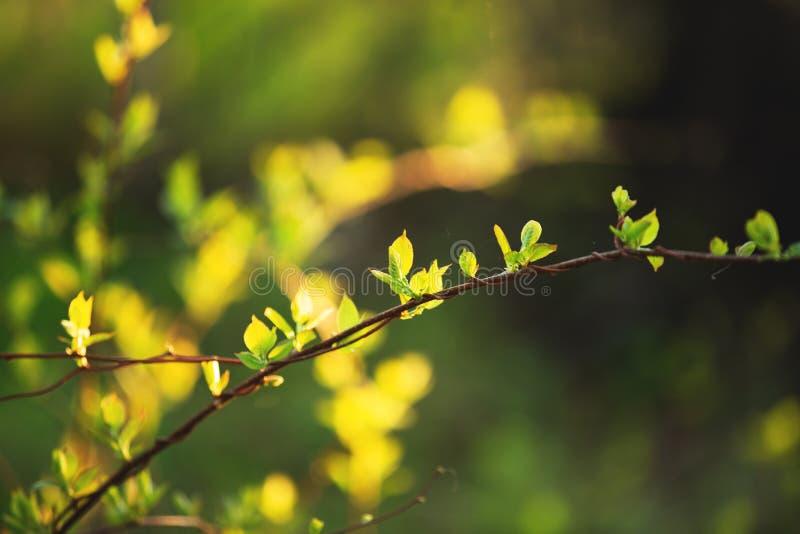 在分支的美丽的新鲜的绿色叶子在日落 Schisandra中华的绿叶在春天 库存照片