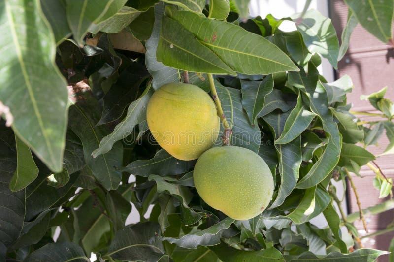 在分支的芒果热带水果在树 图库摄影