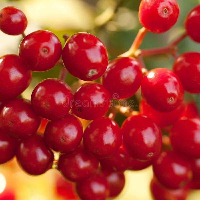 在分支的荚莲属的植物莓果 免版税库存照片