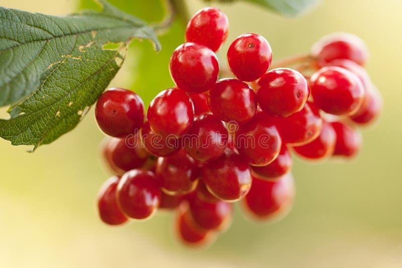 在分支的荚莲属的植物莓果 免版税图库摄影