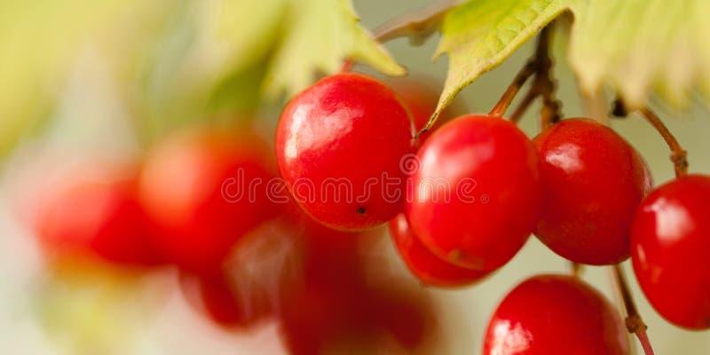 在分支的荚莲属的植物莓果 库存照片