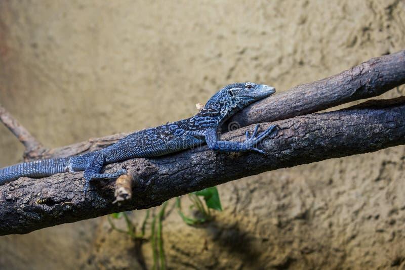在分支的蓝色多刺的蜥蜴 免版税库存图片
