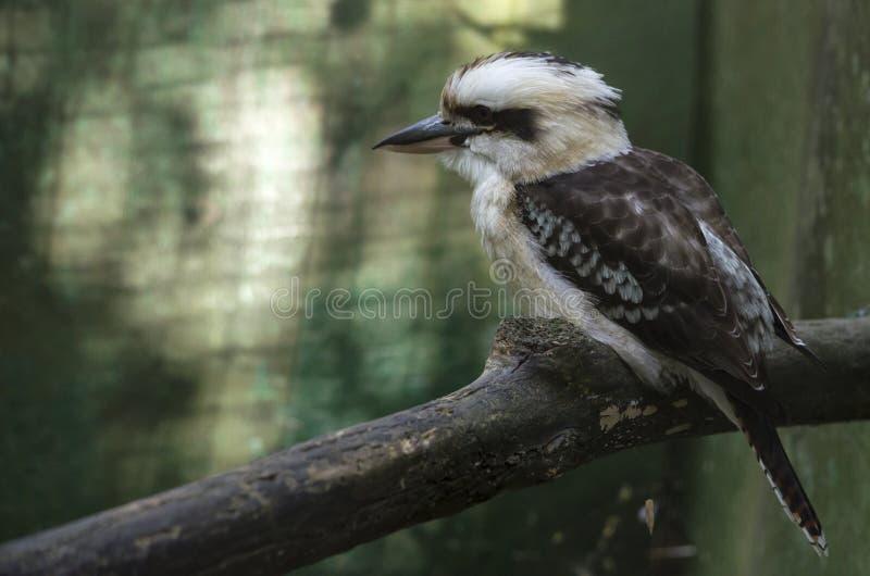 在分支的蓬松啄木鸟 免版税库存照片