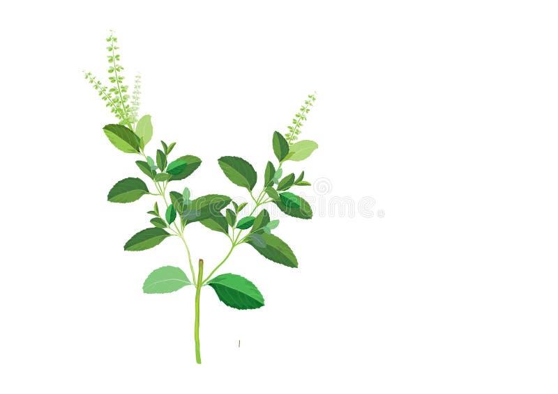 在分支的蓬蒿叶子 烹调的手图画例证草本 食物的成份植物 被隔绝的图片 皇族释放例证