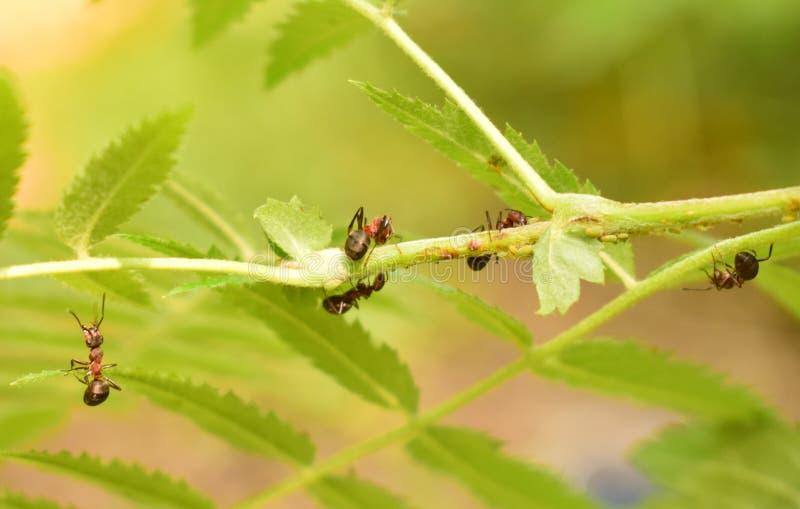在分支的蚂蚁 免版税图库摄影