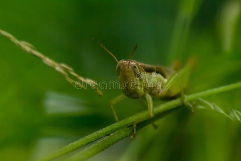 在分支的蚂蚱劫掠或草有绿色背景 免版税库存照片
