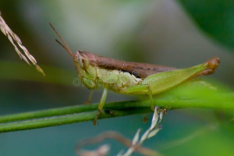 在分支的蚂蚱劫掠或草有绿色背景 图库摄影