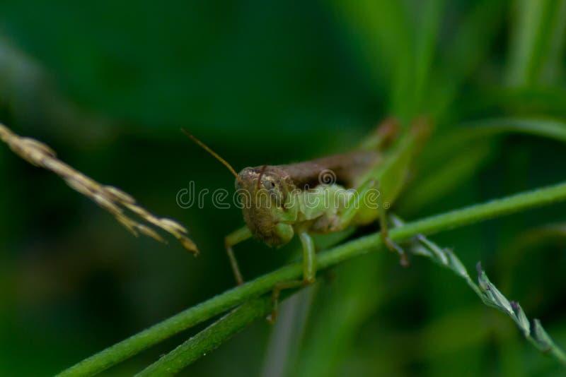 在分支的蚂蚱劫掠或草有绿色背景 库存照片