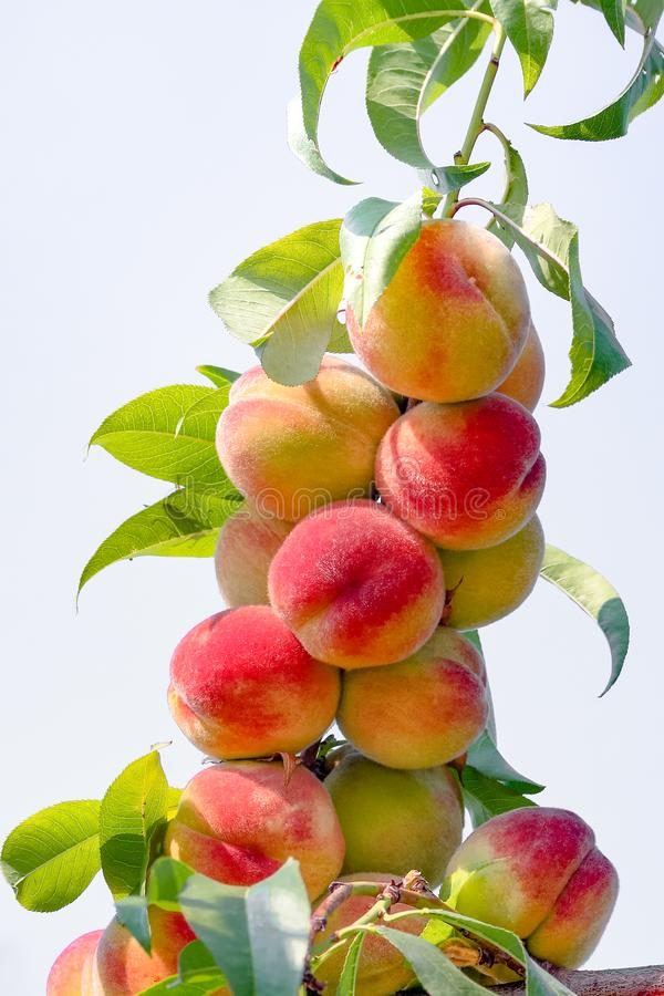 在分支的许多桃子 图库摄影