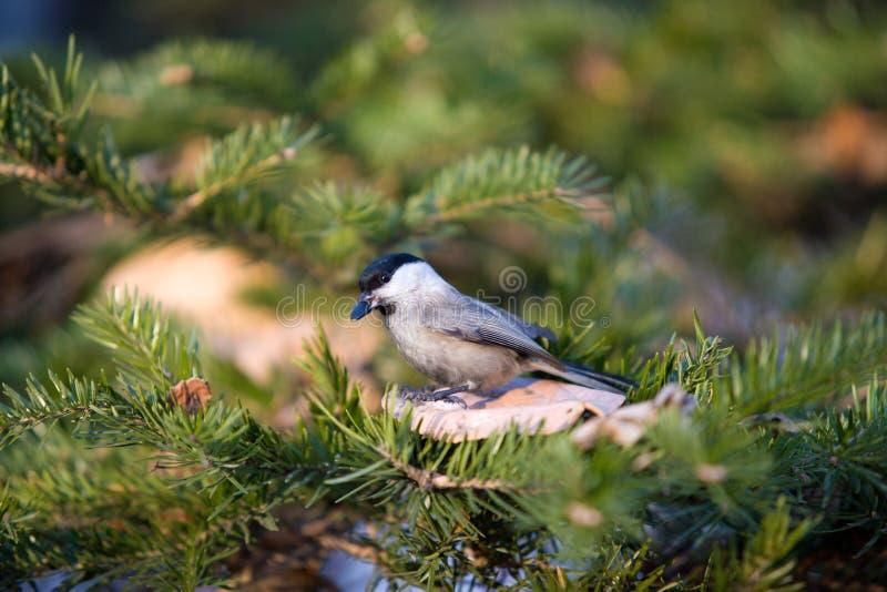 在分支的野生鸟吃冷杉球果的种子的 免版税库存图片