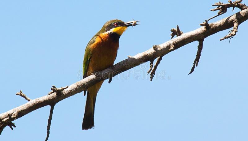 在分支的食蜂鸟与在额嘴的昆虫 免版税图库摄影