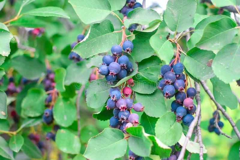 在分支的鲜美新鲜的蓝色唐棣属与绿色叶子 免版税图库摄影