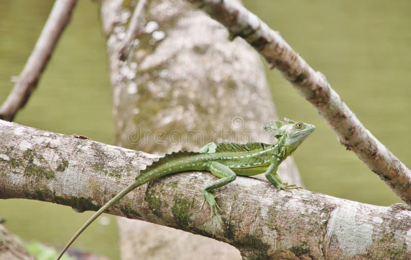 在分支的鲜绿色蛇怪蜥蜴 免版税库存照片