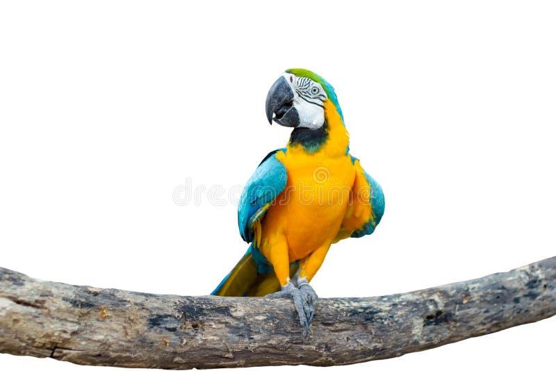 在分支的鸟蓝色和黄色金刚鹦鹉身分 库存照片
