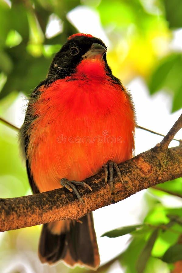 在分支的绯红色breasted雀科鸟 免版税库存照片