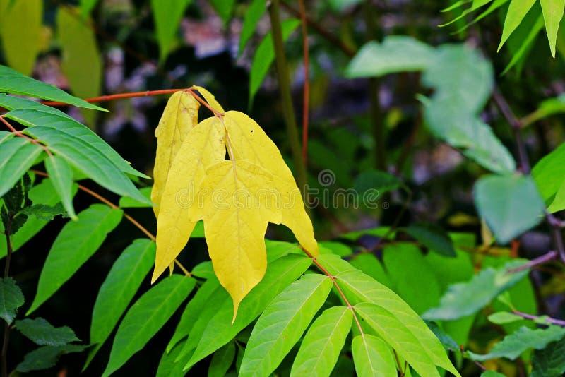 在分支的绿色和黄色叶子在秋天森林里 免版税库存照片