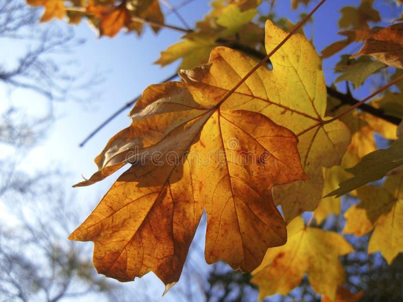 在分支的黄色秋叶反对蓝天 免版税库存照片
