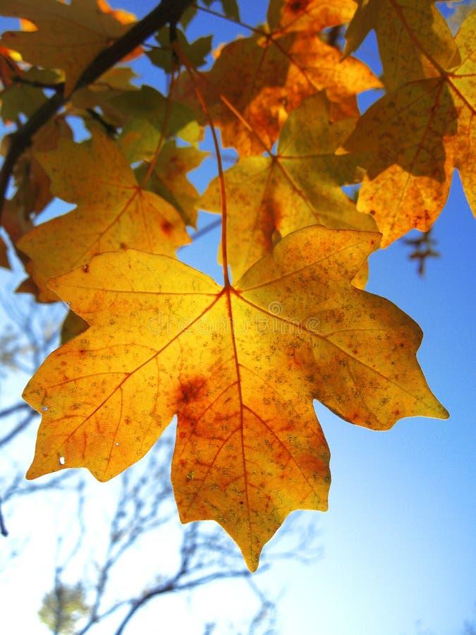 在分支的黄色秋叶反对蓝天 图库摄影
