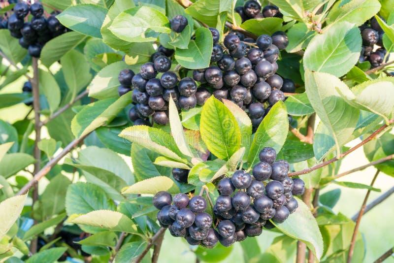 在分支的Aronia melanocarpa黑色堂梨属灌木成熟莓果 免版税库存照片